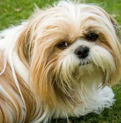 Shih Tzu Puppy Price In Punjab Original Breed