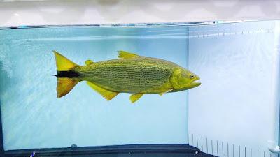 Ciri-ciri Fisik Ikan Golden Dorado