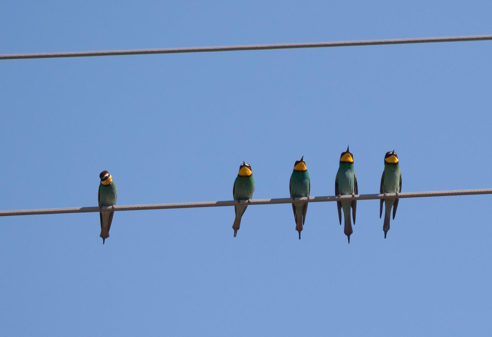 Bee-eaters - Spain