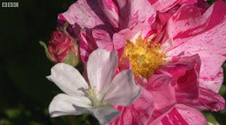 Geranium Sanguineum Alba Rose Rosa Mundi