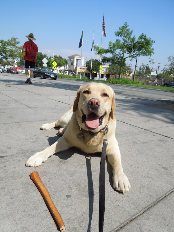 Yellow Labrador Cooper West Hollywood