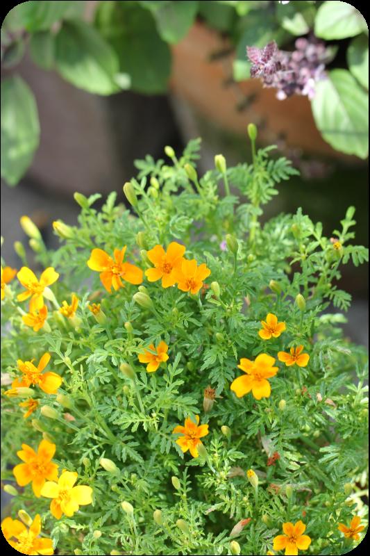 Blühende Gewürztagetes mit einem betörenden Duft nach Mandarine | Arthurs Tochter Kocht von Astrid Paul