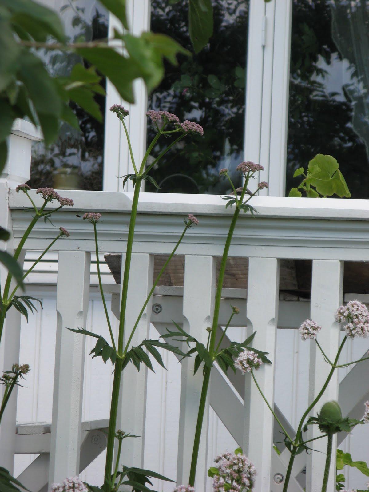 hvilken plante liker peoner