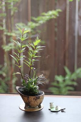 鞍馬風の鉢に入った背の高いフジバカマがかっこよい山野草盆栽