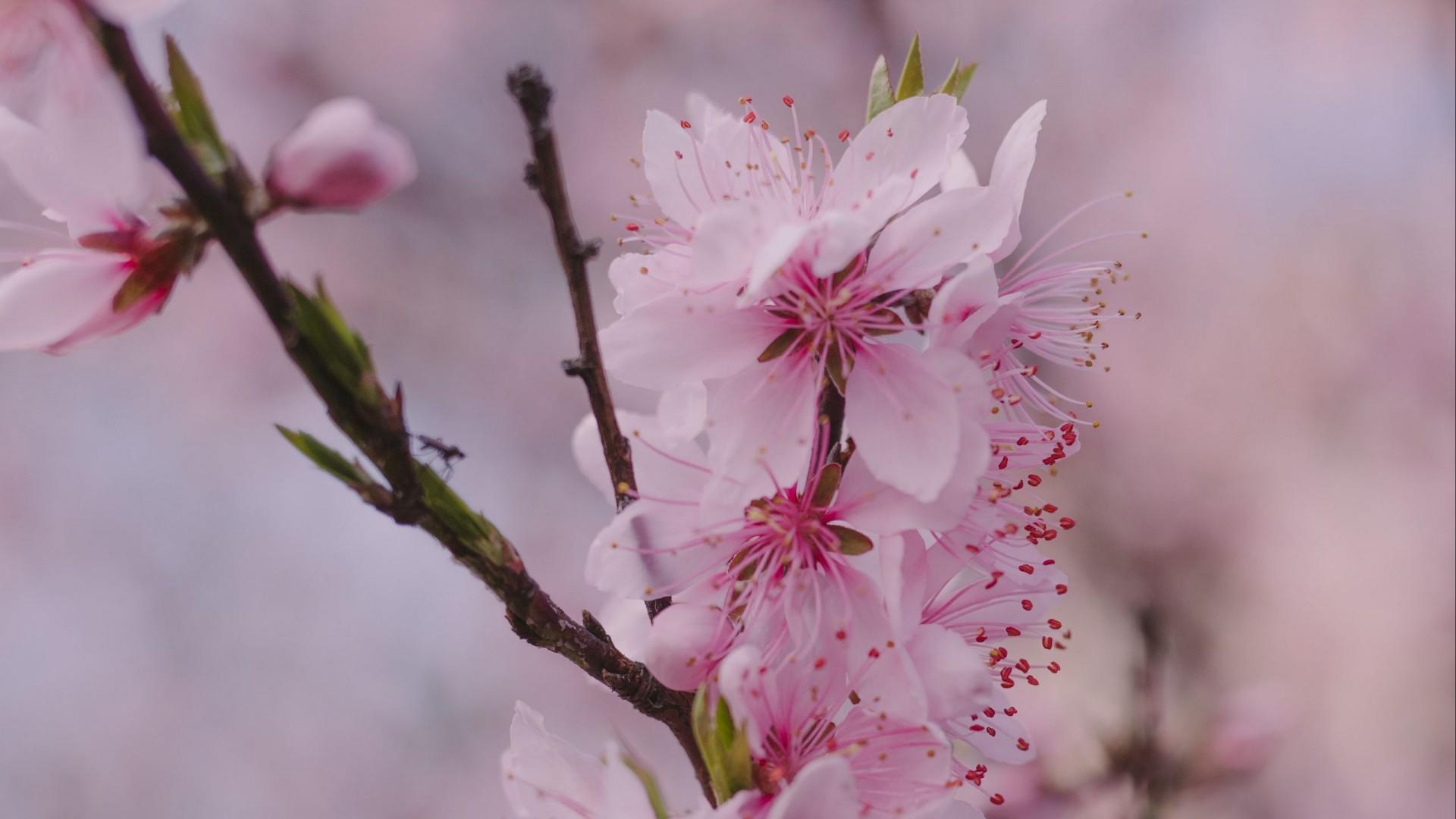 Pink Sakura Flowers Petals HD Wallpaper