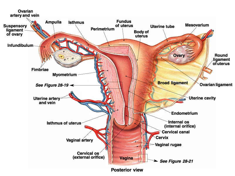 Female Reproductive System Coordstudenti