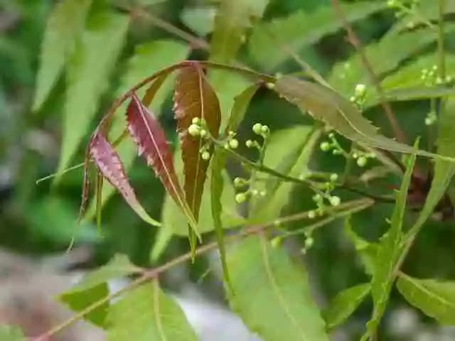 Amazing Health and Medicinal Benefits of Neem: A Tree of Wellness