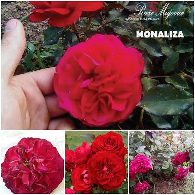 MONALIZA – Mona Lisa Floribunda, Patio