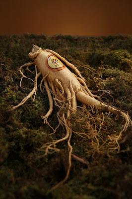 raiz de ginseng natural planta medicinal