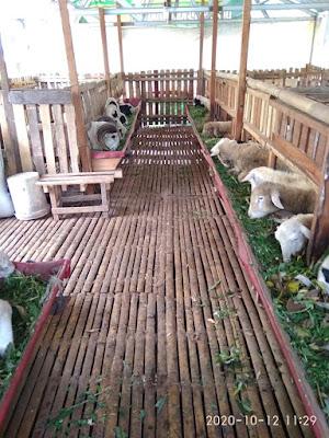 Lantai kandang kambing dari bambu