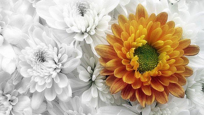 udidaya bunga krisan, arti bunga krisan, bunga krisan termasuk tumbuhan berhari pendek, bunga krisan kuning, bunga krisan putih, harga bunga krisan putih, cara merawat bunga krisan, sejarah dan jenis bunga krisan, cara stek bunga krisan, penyebab bunga krisan layu, cara mengembangbiakkan bunga krisan, cara memperbanyak bunga krisan