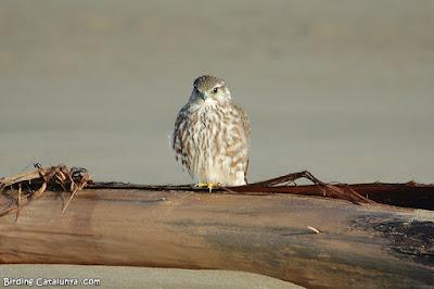 Esmerla (Falco columbarius)
