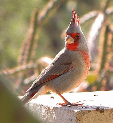 Photo of Pyrrhuloxia on rock wall