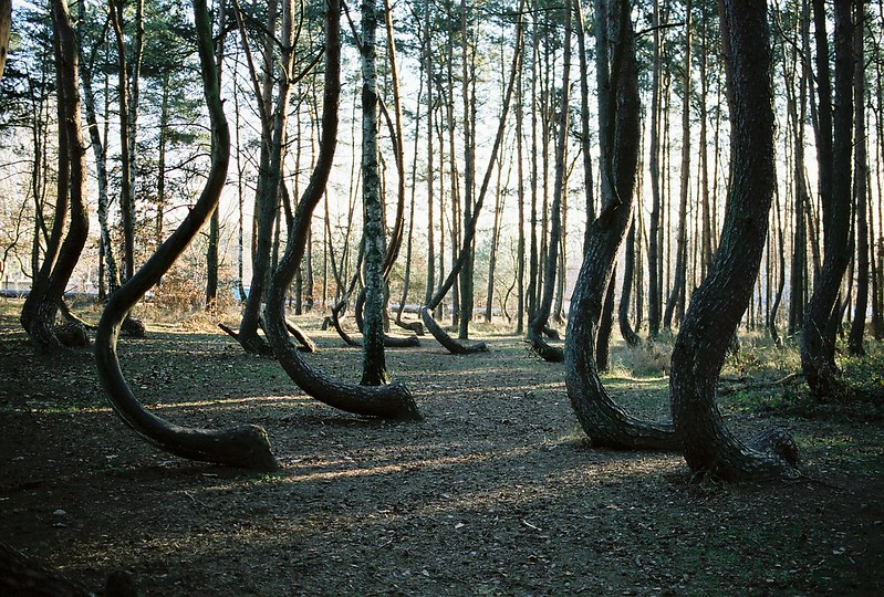 krzywy las, curved tree forest, trees in poland, gronty poland, crooked trees, bent trees, tree that grows sideways, poland crooked forest, gryfino forest, crooked trees poland, crimson pine tree, gryfino poland, bending pine trees, crooked forest facts, trees that grow sideways,
