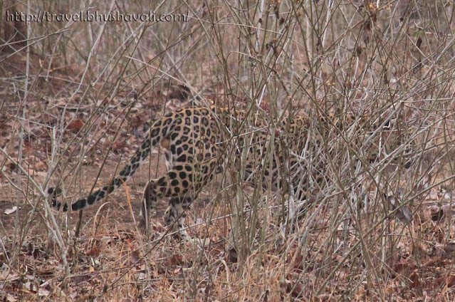 Leopards of Nagarhole National Park