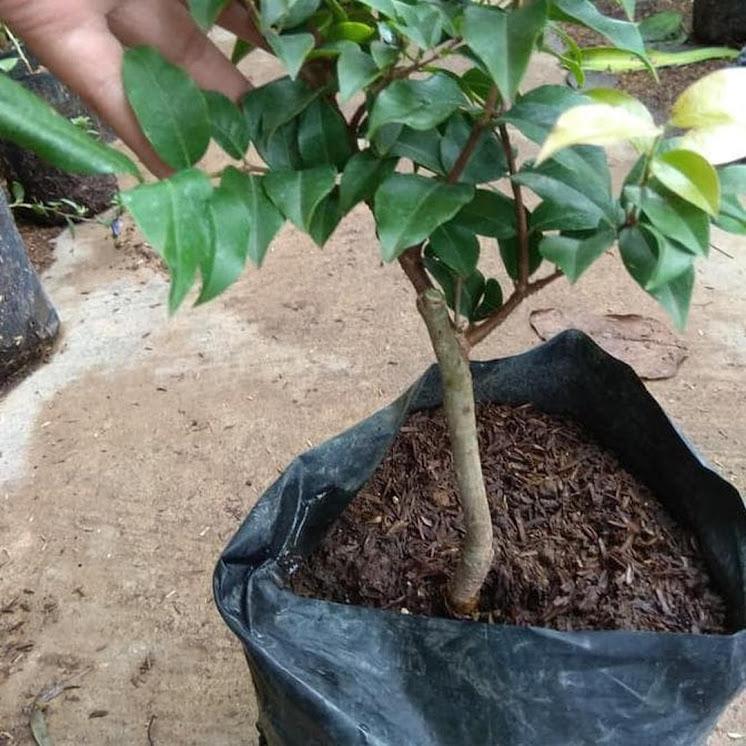 Paling Laris Bibit Tanaman Anggur Pohon Preco Okulasi Nh Jawa Tengah
