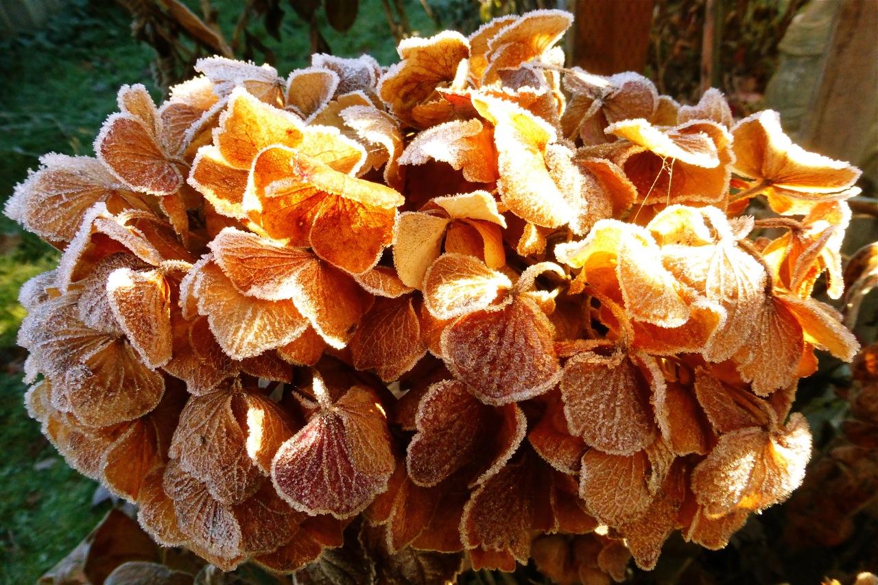 hydrangea, frosty hydrangea