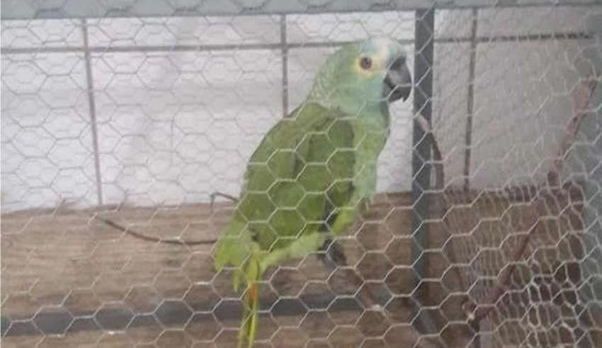 Um papagaio foi apreendido em uma residência que funcionava ponto de tráfico de drogas, em Teresina (PI)