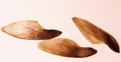 arboles de las yungas Cedro coya (Cedrela angustifolia)