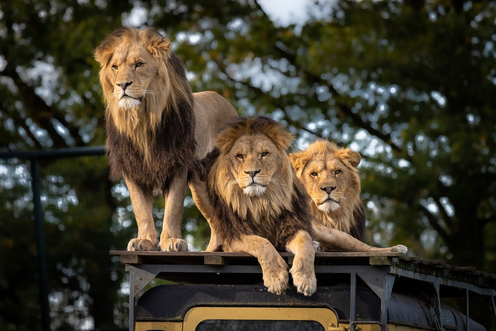 lion-zoo-africa-predator-animal,lion images