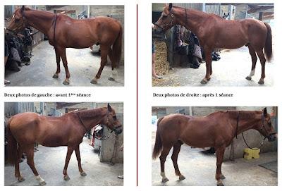 Les effets d'une séance de bodywork sur un cheval atteint du syndrome high/low.