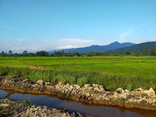 padi sawah