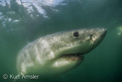 Weißer hai © Kurt Amsler