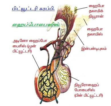 பிட்யூட்டரி சுரப்பி - ஹைப்போபைஸிஸ். Pituitary Gland - Hypophysis. Part - 3.