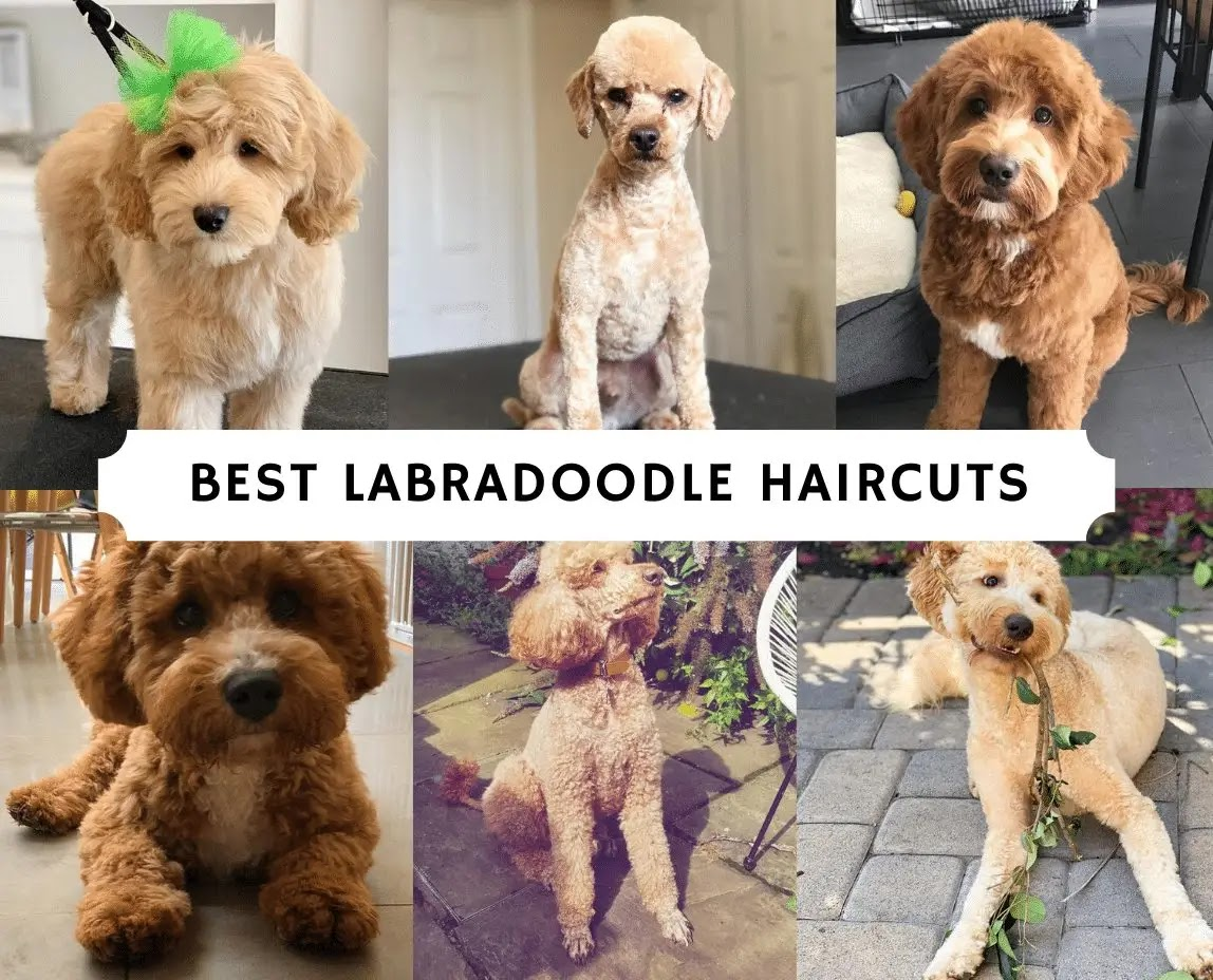 Best-Labradoodle-Haircuts