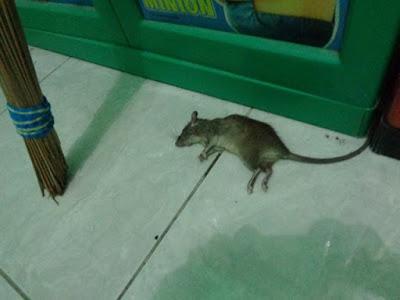 Foto tikus mati di rumah