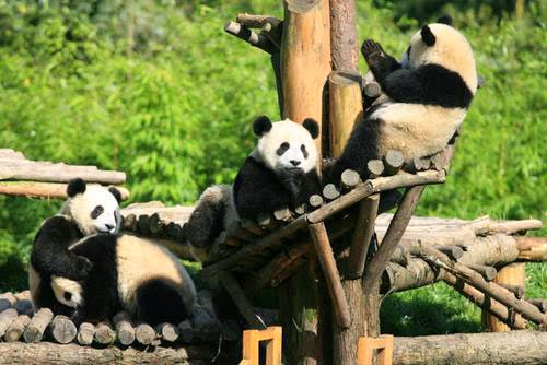 Holiday to Beijing Zoo China   Tour Guide Choice Your Holiday Panda On Beijing Zoo