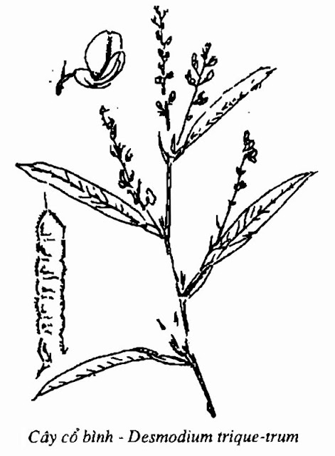 Hình vẽ Cây Cổ Bình - Desmodium trique-trum - Nguyên liệu làm thuốc Chữa Cảm Sốt