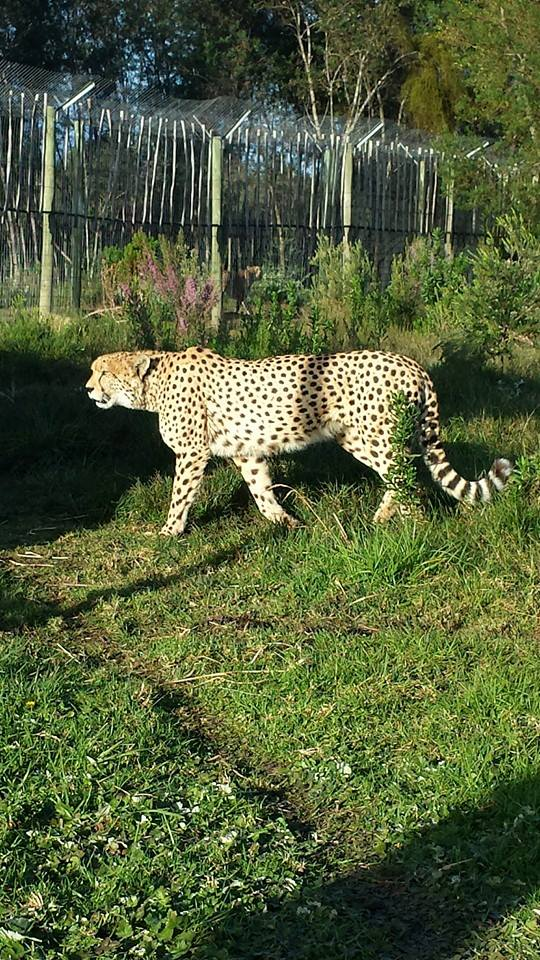 Chester the cheetah in South Africa