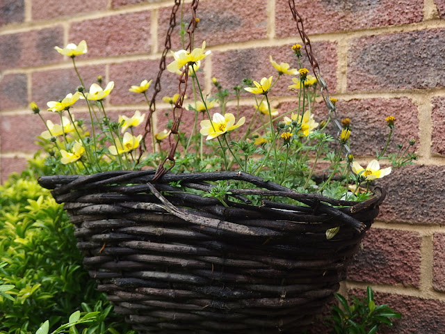 Hanging basket with Bidens 'Spotlight'