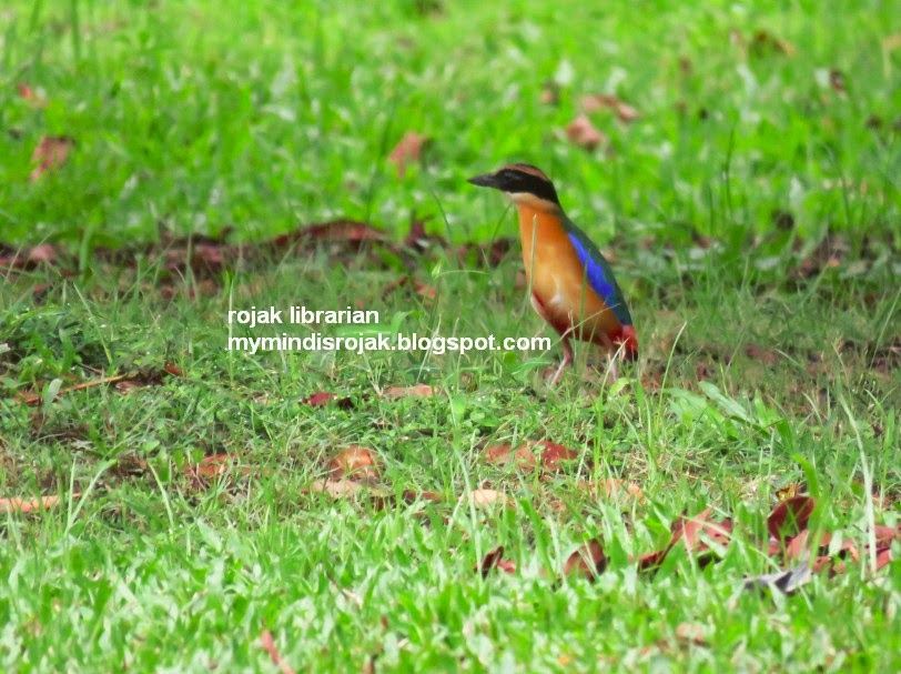 Blue-winged Pitta in Tampines Eco Green