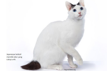 mengenal kucing Japanesse bobtail