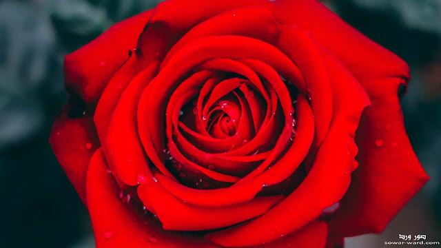 خلفيات ورد احمر طبيعي جميل