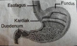 mengenal anatomi sistem pencernaan manusia beserta fungsinya