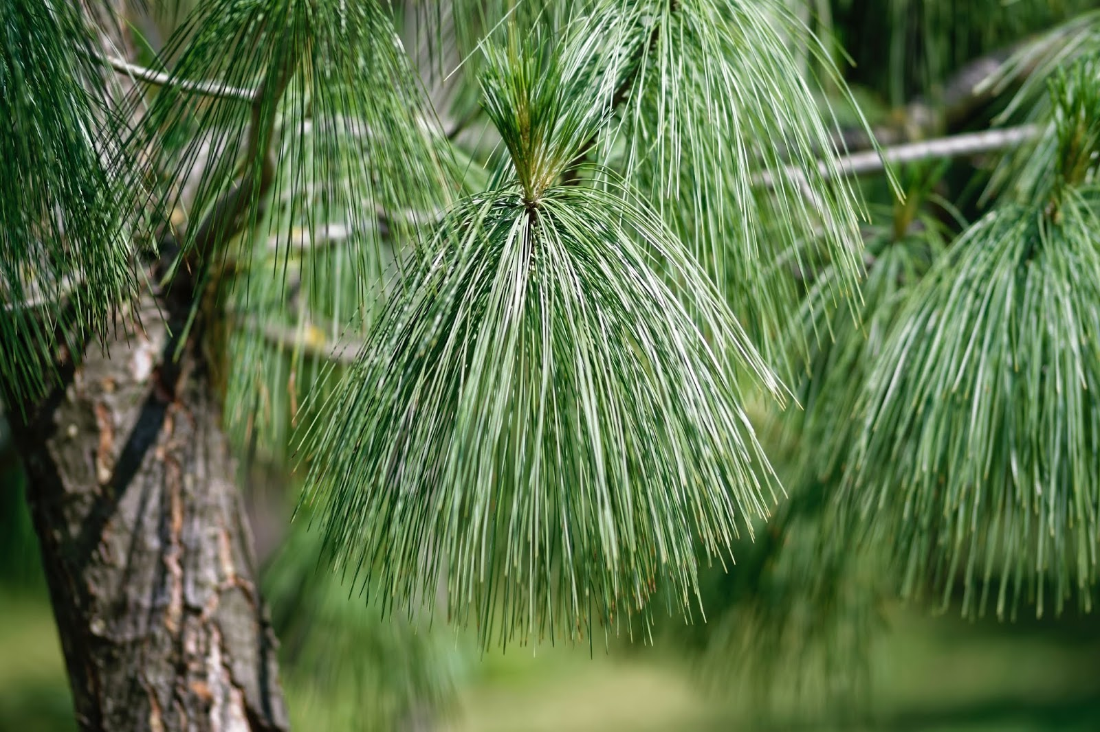 Tip Of The Week - Pure Pine Perfection