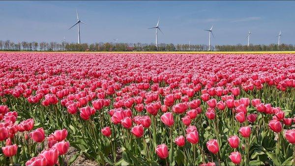 Тюльпаны в Голландии, Тюльпанома́ния