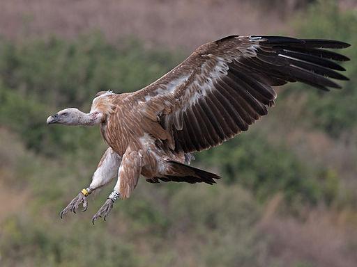 نسر جريفون العملاق  أكبر الطيور و أخطرها