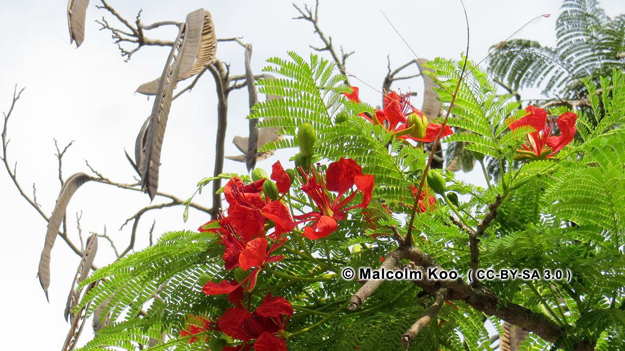 Essay On Gulmohar Tree