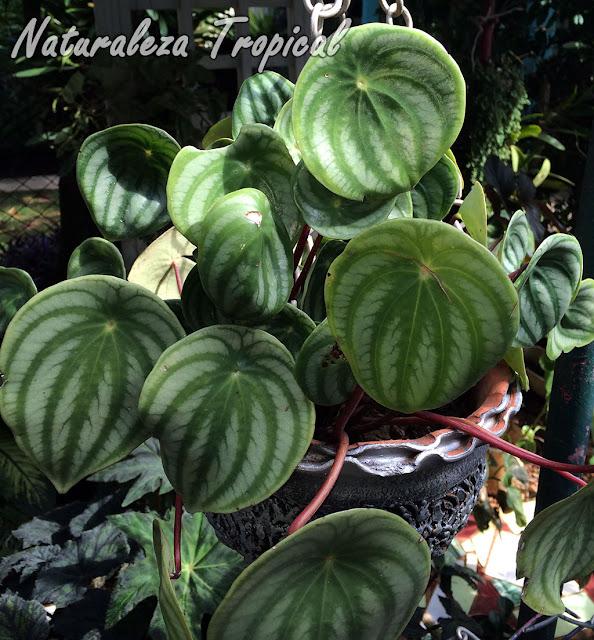 El Meloncito de Jardín, Peperomia argyreia o Peperomia sandersii