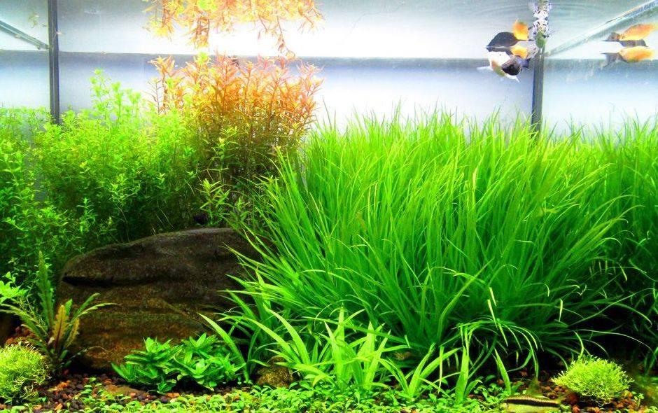 Cây thủy sinh cỏ nhật phát triển rất tốt trong bể thủy sinh này