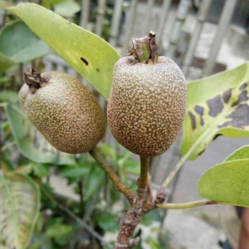 bibit buah pir pear Sumatra Selatan