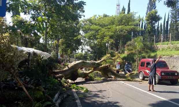 Pohon Flamboyan di Jalan Diponegoro, Tulungrejo, Bumiaji Kota Batu tumbang karena bagian akar mengalami pelapukan