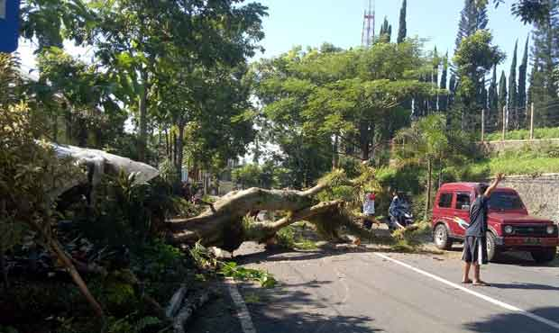 Lapuk, Pohon Flamboyan Tumbang di Pagi nan Cerah