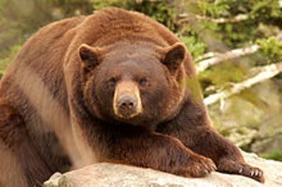 L'ours guérisseur