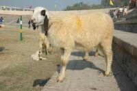 nbagr sheep breed