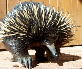 Image result for echidna pictures